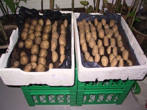 Kartofler sat tril Spiring