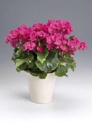 begonia-lorange-2