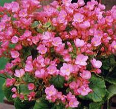 begonia-lorange